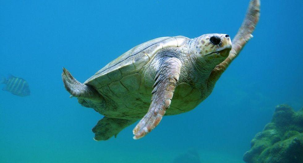 Una tortuga de gran tamaño se metió en la piscina de una villa playera y retirarla de ahí demandó un gran esfuerzo | Foto: Pixabay / Free - Photos