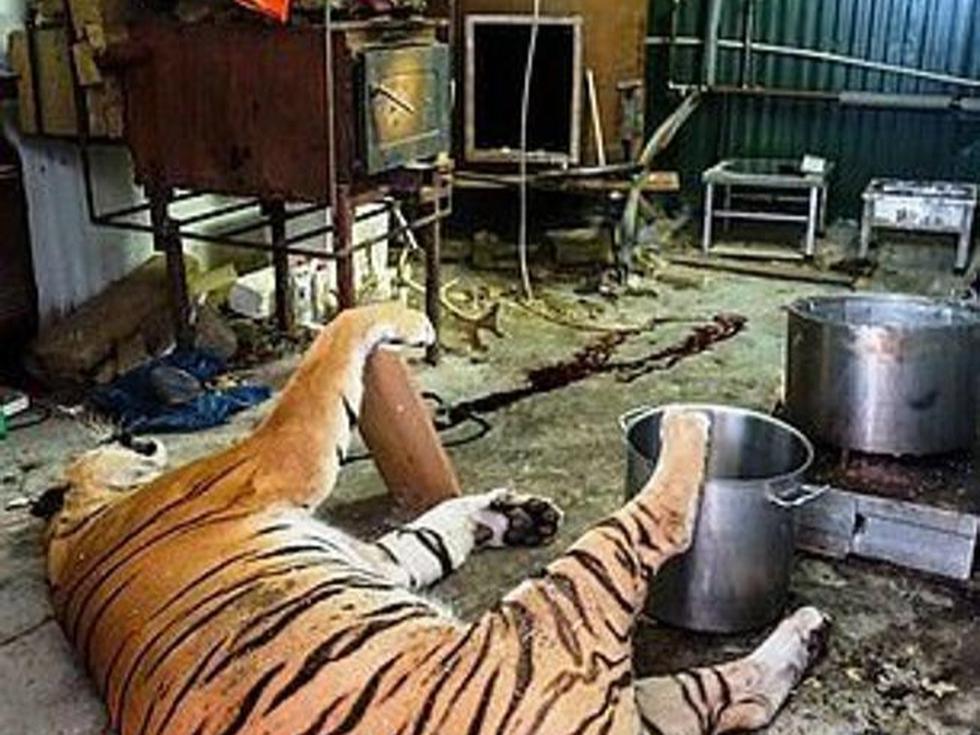 En la granja encontraron a un tigre que había sido matado recientemente. También vieron una olla grande, la cual estaba llena de carne y huesos. Foto: Czech Environmental Inspectorate