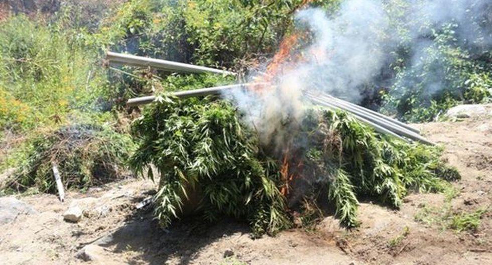 Áncash: incineran 10 mil plantones de marihuana