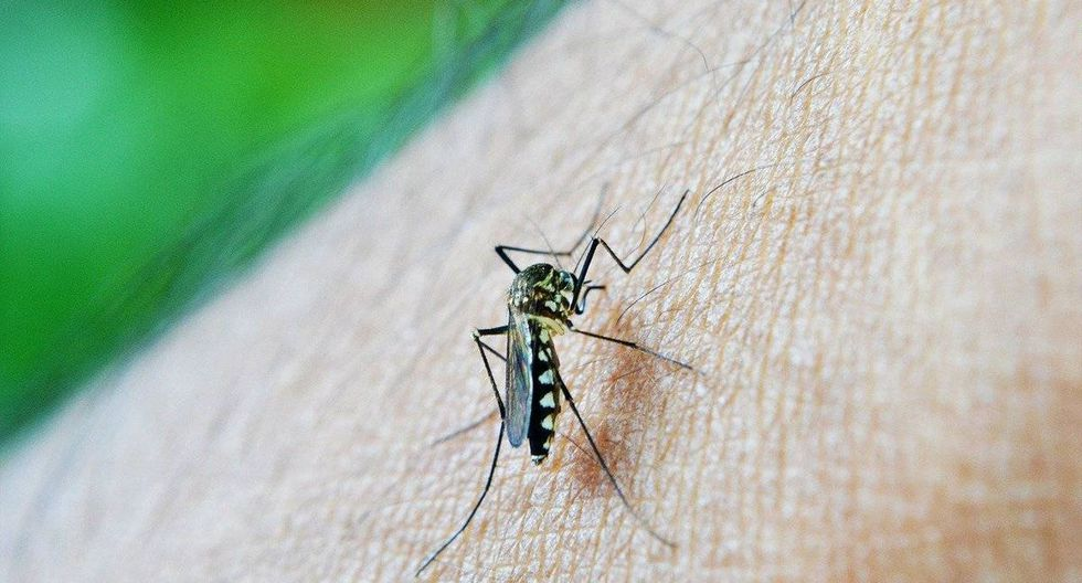 Los mosquitos transmiten coronavirus. (Foto: Twitter)
