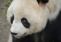 Panda es apedreado por personas que lo ven durmiendo en zoológico | VIDEO