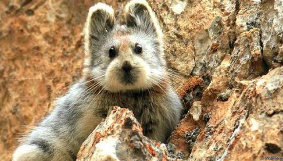 Tierno roedor en peligro de extinción es la sensación en la web