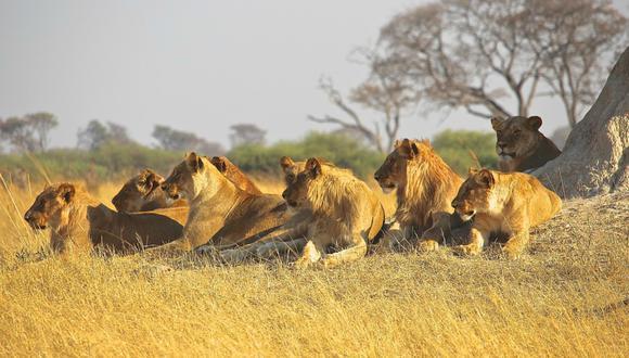 El hecho fue registrado poco antes de que el Parque Nacional Kruger cierre sus puertas por el coronavirus. (Foto: Captura)