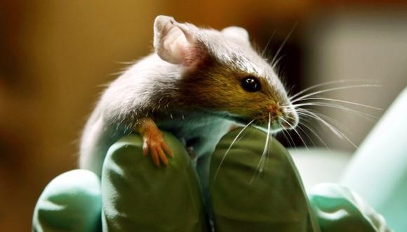 Descubren peculiar característica en cromosomas de ratas