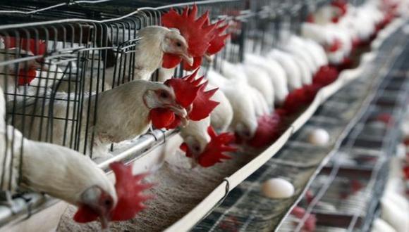 Por gripe aviar, el Perú prohíbe importación de aves de Chile