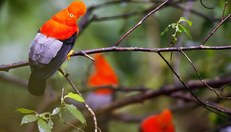En la ruta podrás ver aves como el gallito de las rocas.  (Foto: iStock)