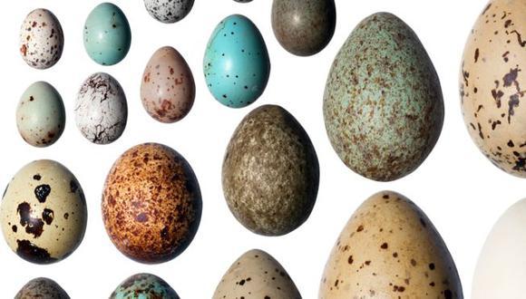 """""""Los huevos en lugares más fríos tienen un color más oscuro, y a medida que nos desplazamos hacia los trópicos o zonas templadas hay una mayor variación en colores"""", afirmó Daniel Hanley. (Foto: GETTY IMAGES)"""