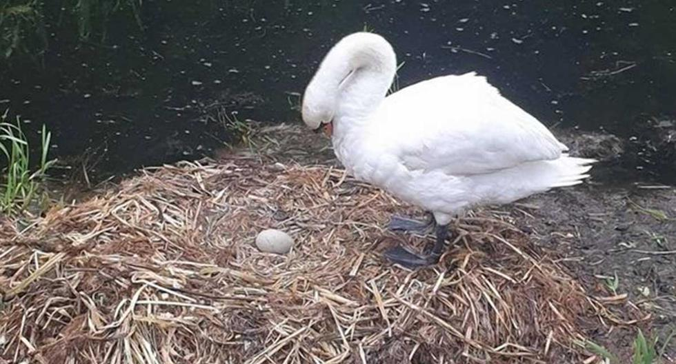 El cisne hembra perdió 5 huevos: 3 de ellas producto del demencial ataque de un grupo de jóvenes, y otros 2 tras ataques de distintos animales.   Foto: Michael James Mason