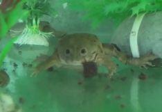 Decenas de ranas gigantes amenazadas nacen en cautiverio