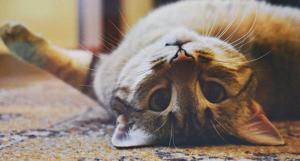 """En total son treces fechas en el año que se celebra el """"Día del Gato"""". (Pexels)"""