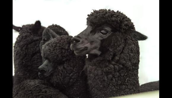 El color negro de la alpaca peruana está en peligro. En el Fundo Pacomarca, en Puno, se está investigando el material genético de esta variedad y así lograr salvarlas.
