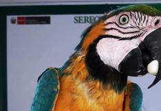 Piura: 13 aves de fauna silvestre atrapadas en jaulas fueron rescatadas por Serfor