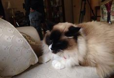 ¿Este es el gato más caro del mundo? Fue vendido en US$140 mil