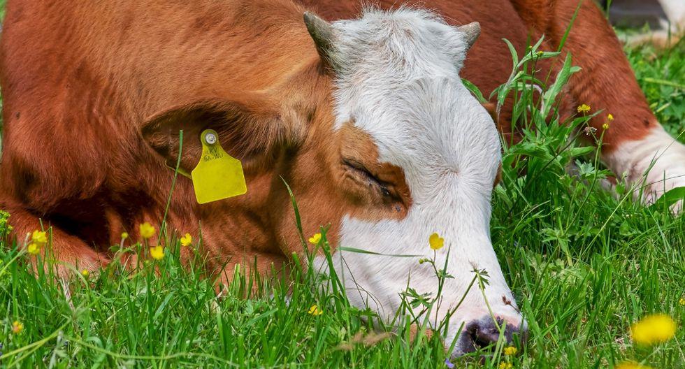 Una menor cautivó a unas vacas de una forma asombrosa. (Referencial - Pixabay | Facebook)