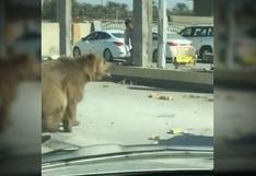YouTube viral: oso camina por las calles en Iraq y asusta a transeúntes [VIDEO]