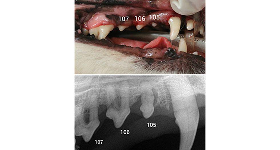 Ignorar la salud dental animal puede ser fatal  - 3