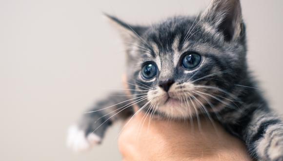Tanto los gatos cachorros como los viejos son los más propensos a sufrir de neumonía. Mucha atención.
