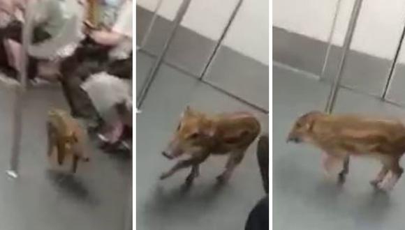 El animal viajó por varios minutos en el metro. (Foto: @wildboarconcerngroup |Facebook)