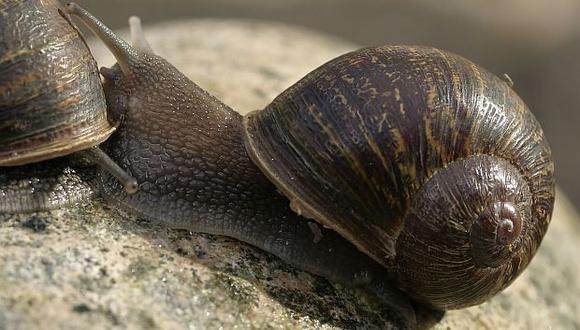 La Universidad de Nottingham inició una campaña para encontrarle una pareja a este caracol 'zurdo'.