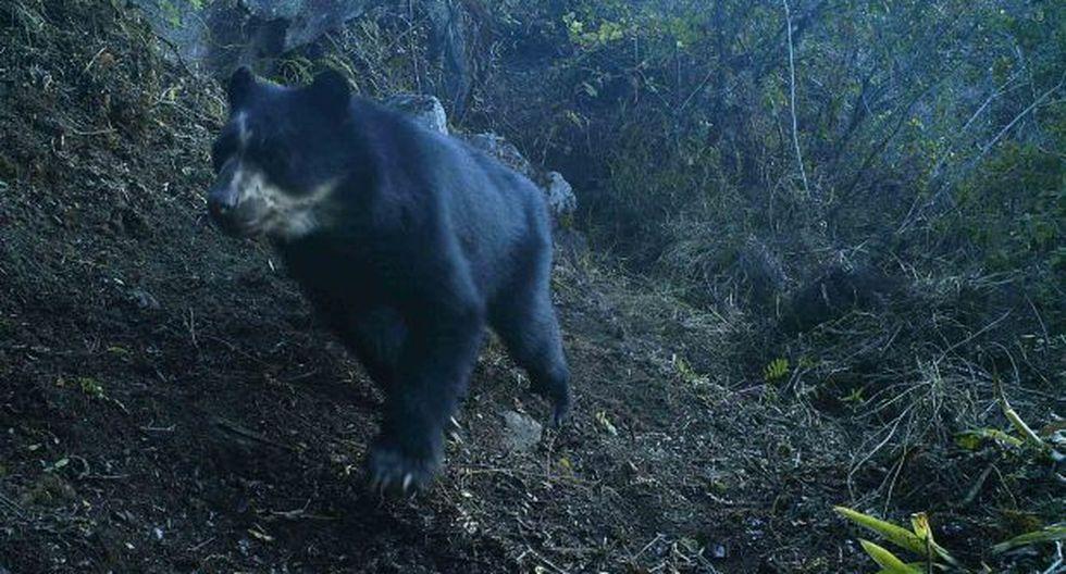 Refugio de Laquipampa: cámaras-trampa grabaron fauna silvestre