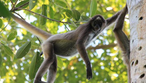 Bachué, un mono araña café que Andrés Link sigue en el Magdalena medio colombiano. Foto: Federico Pardo.
