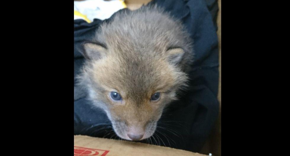 Tras llevarlo a una veterinaria, se descubrió que se trataba de la cría de un zorro salvaje. (Foto: Twitter/@marcy_com)