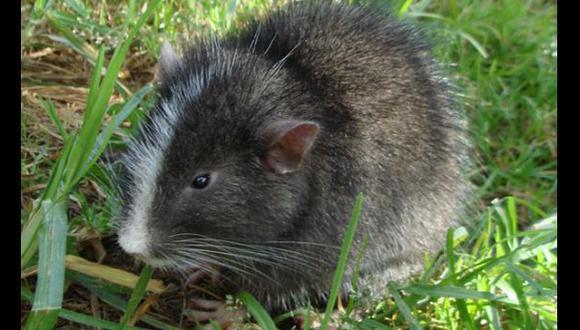 Descubren cerca a Machu Picchu mamífero que se creía extinto