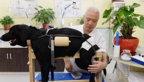 Hoy en día, la acupuntura en animales se practica en perros y gatos, principalmente.
