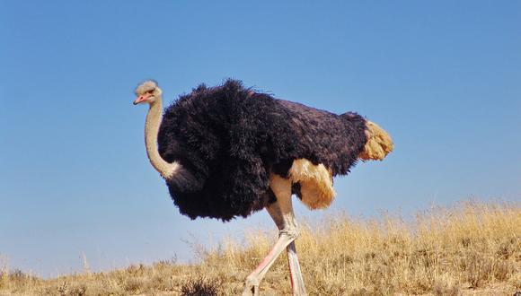 Una avestruz corre a toda prisa y sorprende a automovilistas con la carrera que se dio en autopista de Rusia. (Foto: Pixabay / referencial)