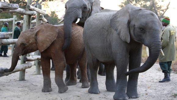 Advierten que el elefante africano podría extinguirse