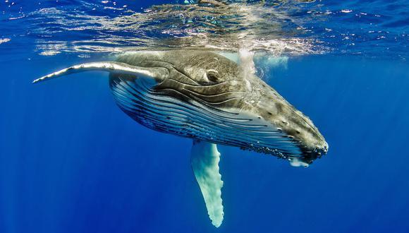 Ballenas en el Perú: caza y captura incidental son sus principales amenazas