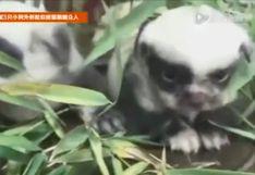China: Nacen tres perros con look 'panda'