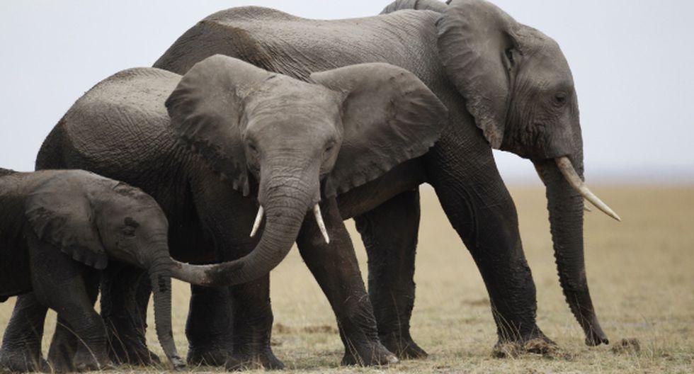 En siete años se extinguiría el elefante de Tanzania