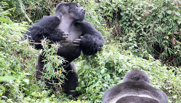 El golpe en el pecho les permite comunicarse entre ellos. (Foto: Dian Fossey Gorilla Fund / AFP)