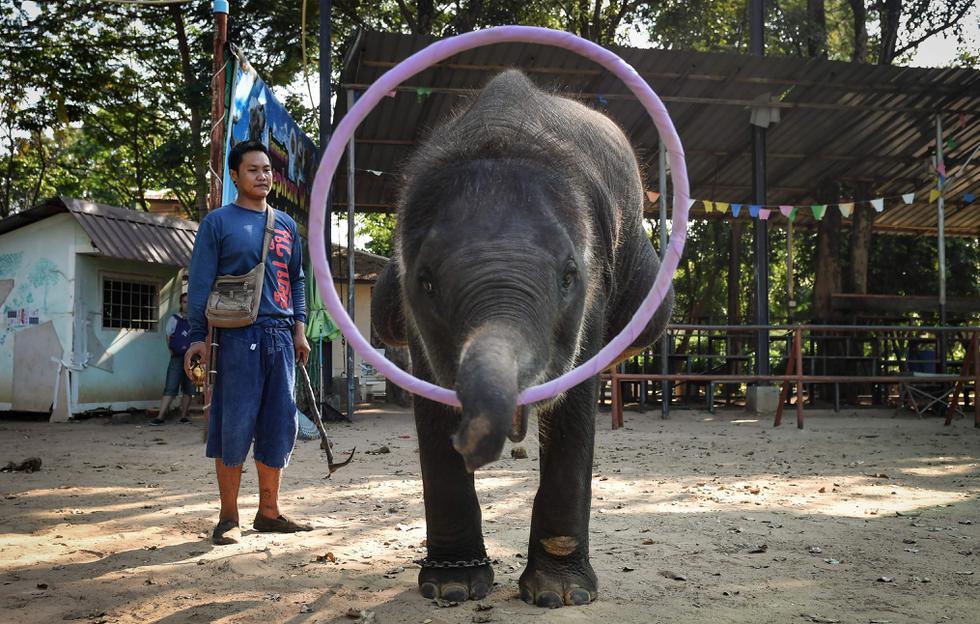 """En Ban Ta Klang se adiestra a la mayoría de los elefantes que acaban en """"centros de rescate"""" donde en realidad son entrenados para que aprendan trucos y luego ser vendidos. (AFP / Lillian SUWANRUMPHA)."""