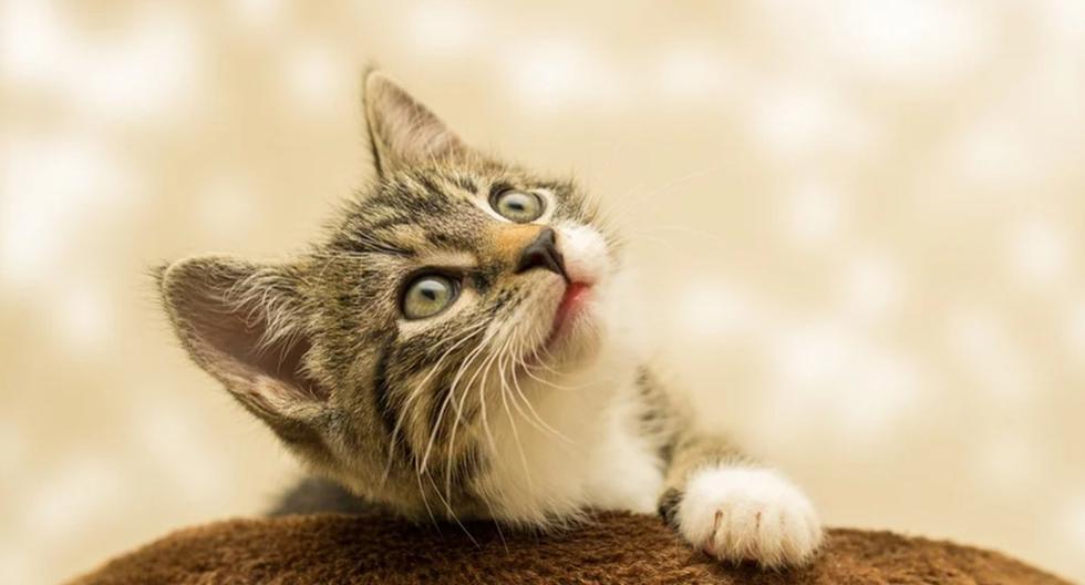 El comportamiento del gato no deja de estar en boca de miles de usuarios de YouTube. (Pixabay)