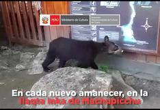Cusco: registran nuevo avistamiento de osos anteojos en Machu Picchu