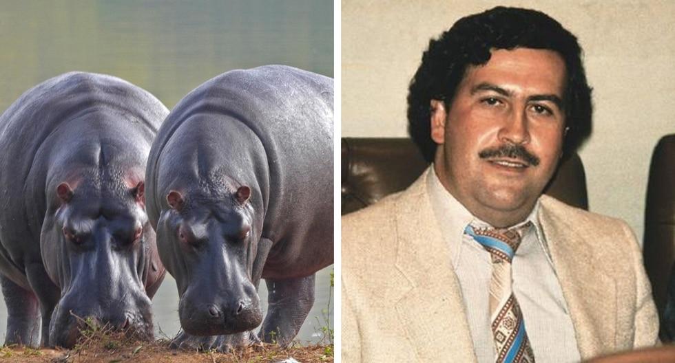 A varios años de su muerte, el deseo de Pablo Escobar de tener su zoológico privado acabó convirtiéndose en un verdadero dolor de cabeza para Colombia tiempo después. (Foto: Pixabay/USI)