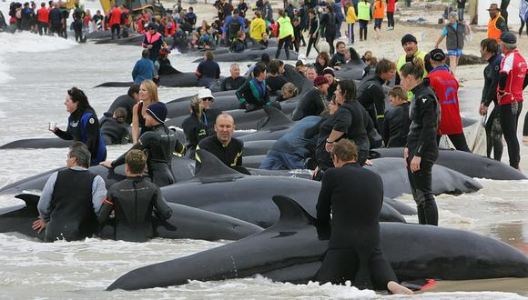 Encallamiento de ballenas registrado en Australia en el año 2005. (Foto: AFP)