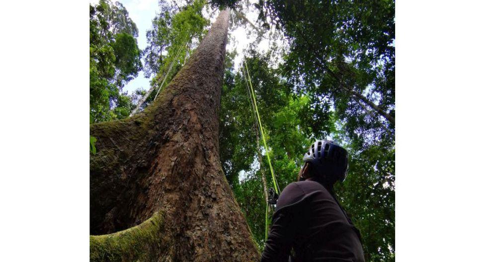 Fotografía de Unding Jami (@BorneoTree en Twitter). Este escalador malayo subió al árbol más alto del mundo.