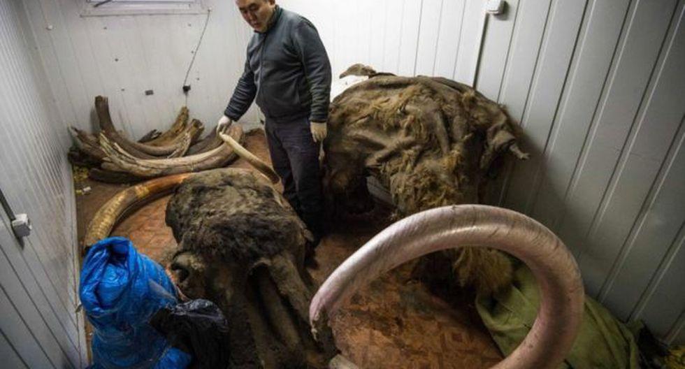 De acuerdos a las autoridades rusas, al año se comercializan de forma ilegal unas 100 toneladas de restos óseos de mamut. Foto: Getty Images, via BBC Mundo