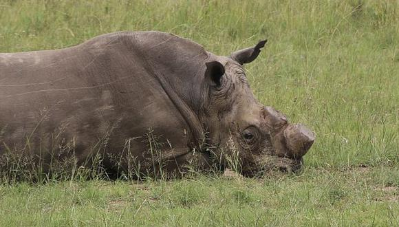 Se le atribuye al cuerno de rinoceronte propiedades curativas y afrodisíacas. Puede llegar a valer más que el oro. (Foto: AP)