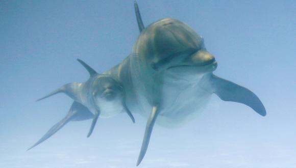 Los delfines fueron entrenados por la CIA para ser potenciales saboteadores y espiar a los submarinos nucleares soviéticos. (Foto referencial, AP).