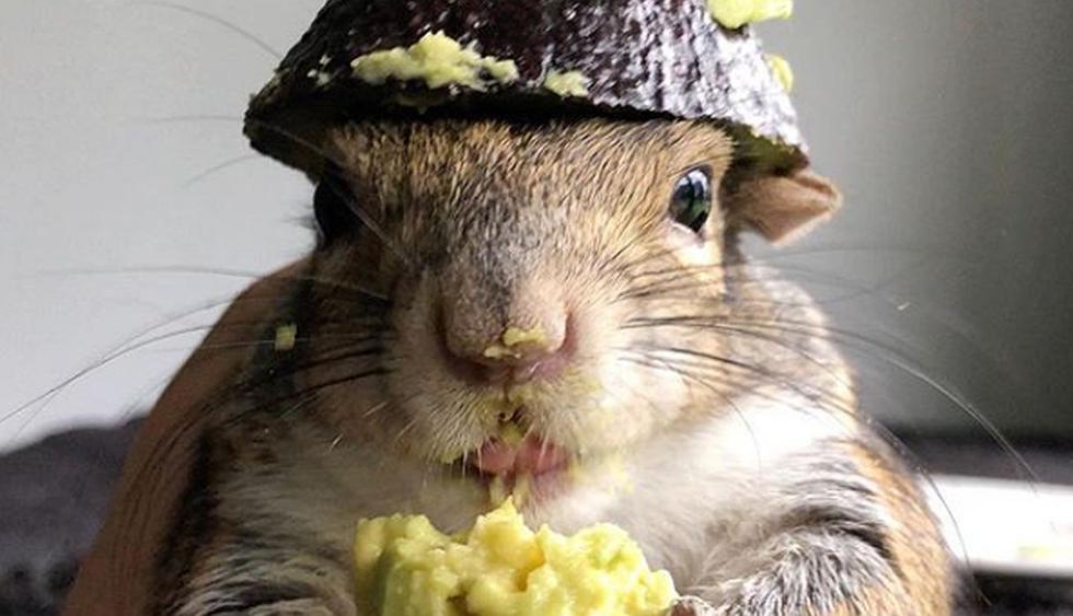 'Seymour' se ha ganado el cariño de sus seguidores por sus peculiares video comiendo palta en diversos lugares de la casa. (Foto: Instagram @seymour_the_squirrel)