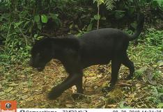 Jaguares melánicos en Panamá: singulares felinos de color negro son registrados por cámaras trampa