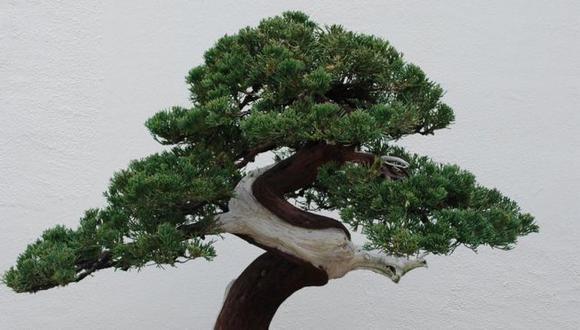 Los bonsáis pueden vivir durante siglos. (Getty Images vía BBC)