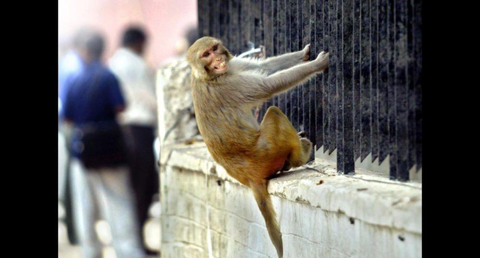 La insólita salida para echar a los monos del Parlamento indio