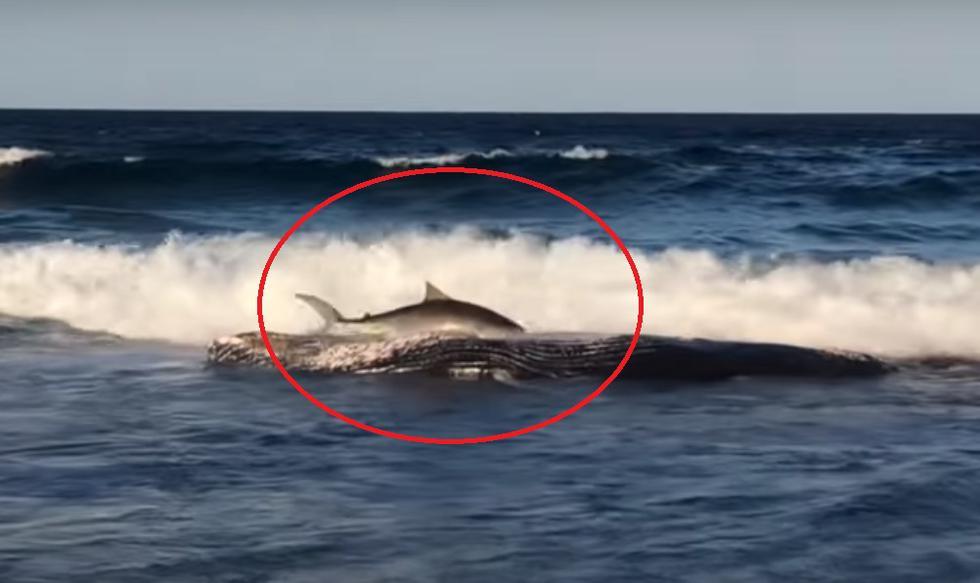 Ejemplar se jugó la vida para degustar una ballena varada en una playa de Mozambique. Video es viral en YouTube.
