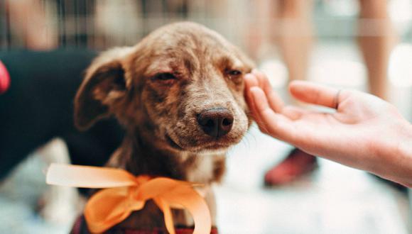 La paciencia y el cariño serán claves en el proceso de adaptación de un perro adoptado. (Foto: Helena Lopes-Pexels)