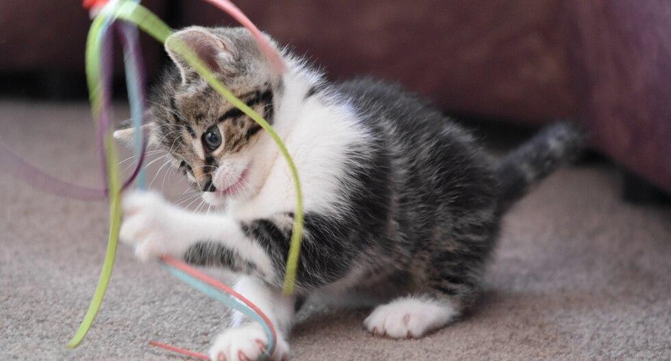 Una gata causó sensación en las redes sociales por su peculiar forma de reaccionar a un juguete. (Foto: Pixabay/Referencial)